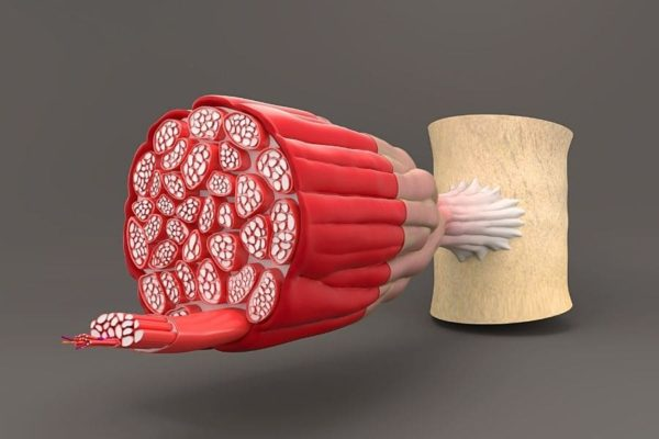 muskeln-und-fett-schaubild
